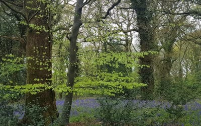 Bluebell Walk 2019 at Holywell House & Gardens