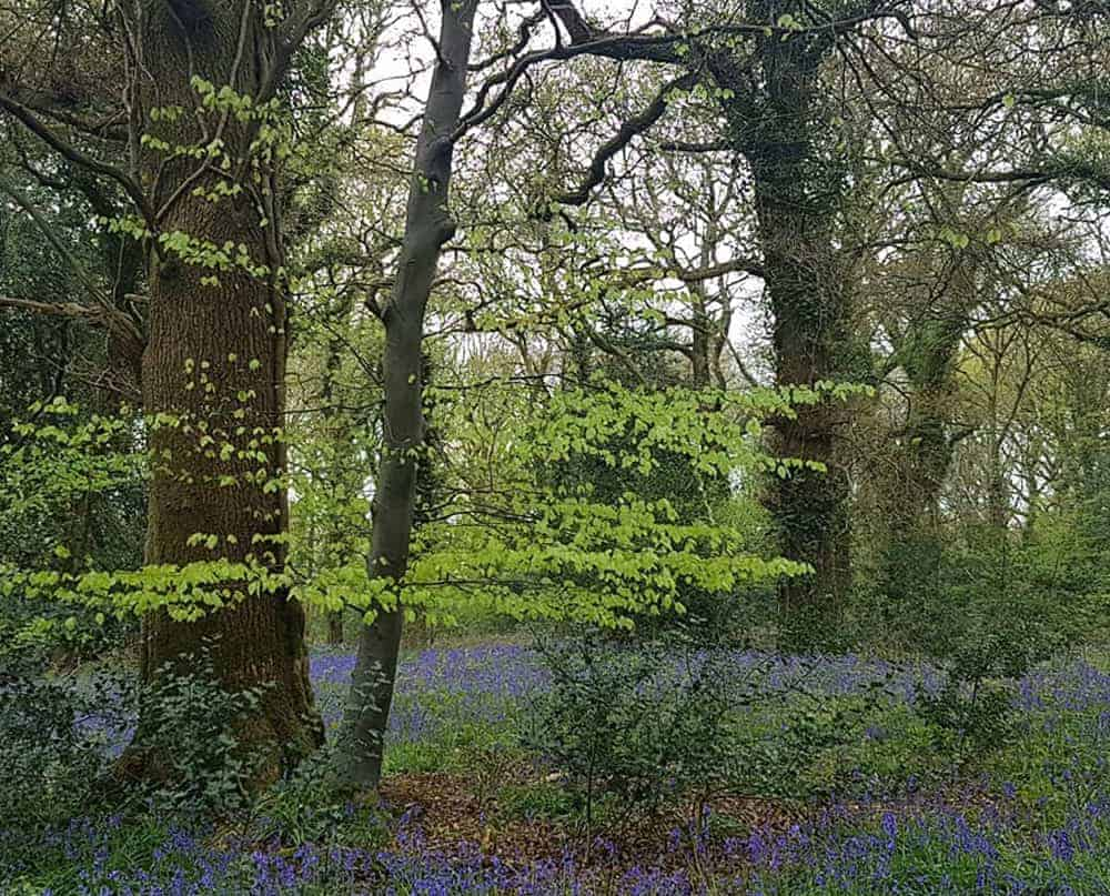 Bluebell Walk 2019 Holywell Estate