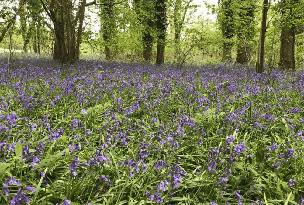 Holywell Estate open gardens for Bluebell Season