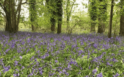 Bluebell Walk 2020 at Holywell Estate – 25th & 26th April